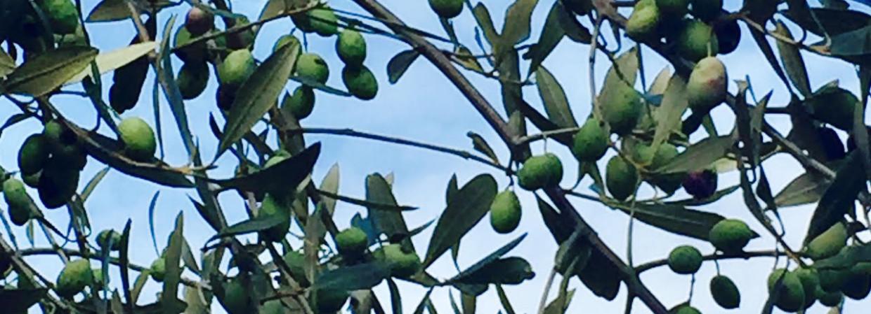 La Dieta Mediterranea e l'olio d'oliva salveranno il mondo